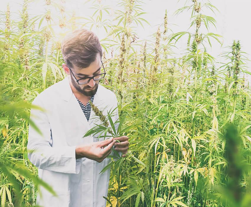 Cientifico en plantacion de cáñamo
