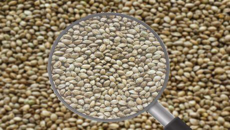 Diferencia de semillas de cáñamo