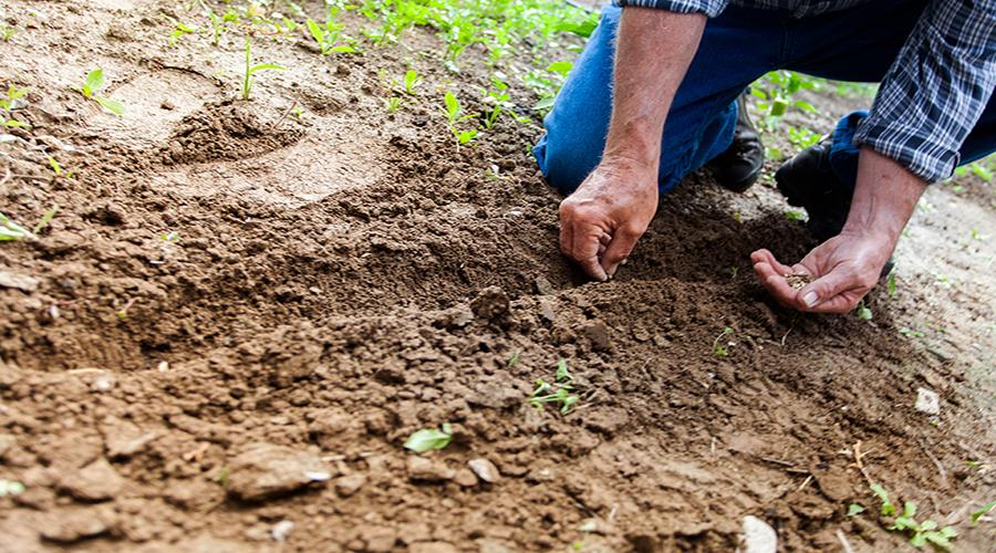sembrando semillas de cáñamo