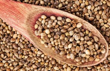 Semillas de cáñamo libres de OMG