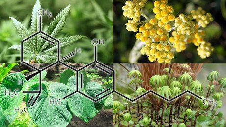 Otras plantas que contienen cannabinoides