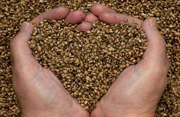 Proteína de cáñamo en semilla